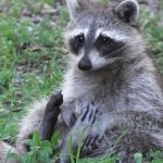 They Thought These Raccoons Had Rabies, But Found The Raccoons To Be Drunk