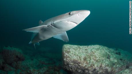 Fish and chip shops serve up endangered shark species, scientists find