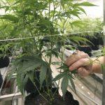 Cannabis is medicine — time to increase access to it – mySanAntonio.com