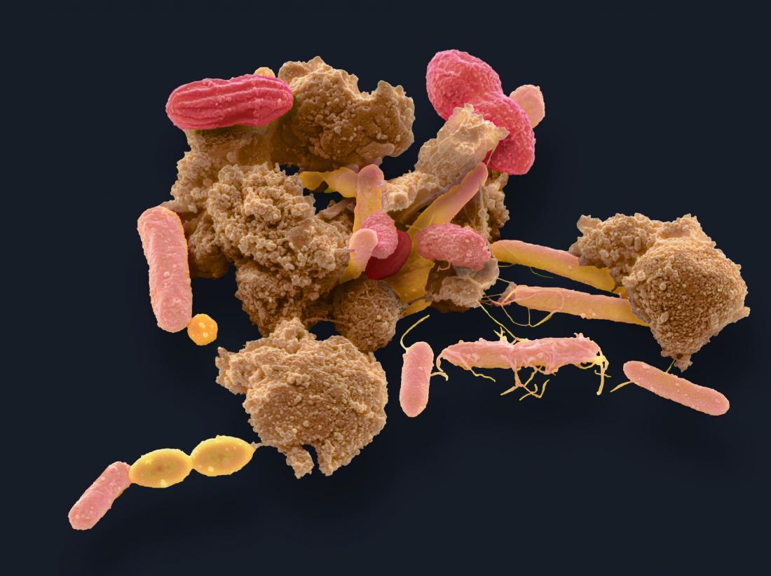 gut bacteria viewed under microscope